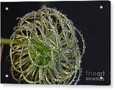 Clematis Close Up With Water Drops Acrylic Print