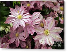 Clematis First Lady Acrylic Print by Ros Drinkwater