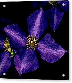 Clematis Acrylic Print