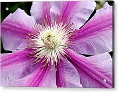 Acrylic Print featuring the photograph Clematis by Kelly Nowak