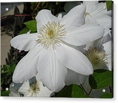 Clematis - Madame Le Coultre Acrylic Print