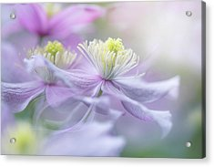 Clematis 'mayleen' Acrylic Print by Jacky Parker