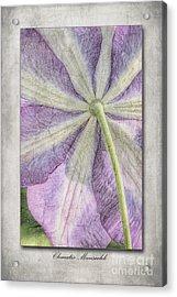 Clematis Miniseelik  Acrylic Print by John Edwards