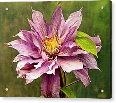 Clematis 'mrs Spencer Castle' Acrylic Print by Ian Gowland