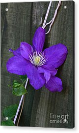 Clematis On A String Acrylic Print