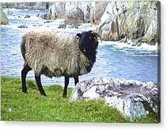 Clew Bay Sheep Acrylic Print