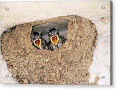 Cliff Swallow Chicks Acrylic Print by Paul J. Fusco