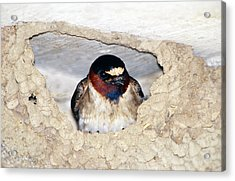 Cliff Swallow In Its Nest Acrylic Print by Paul J. Fusco