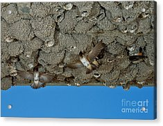 Cliff Swallows At Nests Acrylic Print by Anthony Mercieca