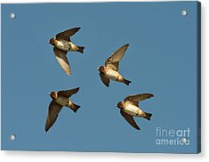 Cliff Swallows Flying Acrylic Print by Anthony Mercieca