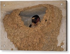 Cliff Swallows Acrylic Print by Paul J. Fusco