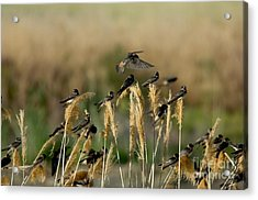 Cliff Swallows Perched On Grasses Acrylic Print by Anthony Mercieca