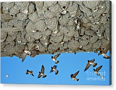 Cliff Swallows Returning To Nests Acrylic Print by Anthony Mercieca