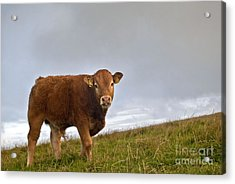 Cliffs Of Moher Brown Cow Acrylic Print