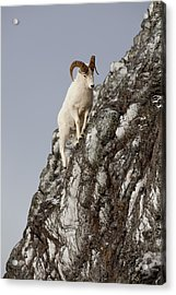 Climbing An Icy Cliff Acrylic Print by Tim Grams