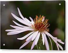 Acrylic Print featuring the photograph Climbing Aster by Paul Rebmann