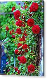 Climbing Red Roses Acrylic Print by C Lythgo