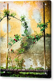 Acrylic Print featuring the photograph Climbing Rose Plant by Silvia Ganora