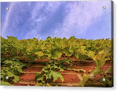 Climbing The Walls - Ivy - Vines - Brick Wall Acrylic Print by Jason Politte