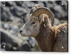 Close Big Horn Sheep  Acrylic Print