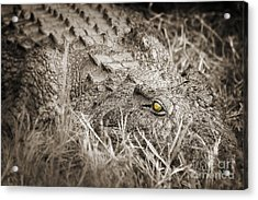 Close Crocodile  Acrylic Print
