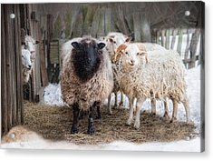 Acrylic Print featuring the photograph Close Knit by Robin-Lee Vieira