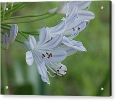 Close Up - African Lily Acrylic Print by Annette Allman