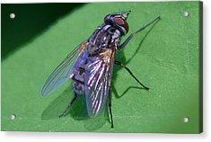 Close Up Fly Acrylic Print