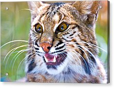 Close-up Of A Bobcat Lynx Rufus Acrylic Print by Panoramic Images