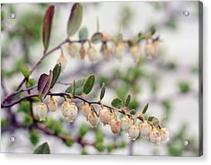 Close Up Of A Flowering Leatherleaf Acrylic Print