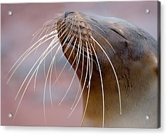 Close-up Of A Galapagos Sea Lion Acrylic Print by Panoramic Images