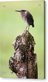 Close-up Of A Green Heron Butorides Acrylic Print by Panoramic Images