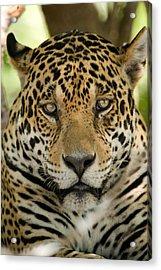 Close-up Of A Jaguar Panthera Onca Acrylic Print by Panoramic Images