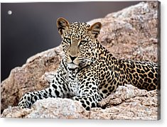 Close-up Of A Leopard Lying On A Rock Acrylic Print by Panoramic Images