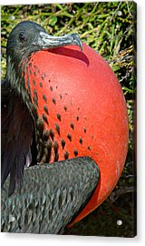 Close-up Of A Magnificent Frigatebird Acrylic Print by Panoramic Images