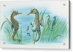 Close-up Of A Male Sea Horse Expelling Young Sea Horses Acrylic Print by English School