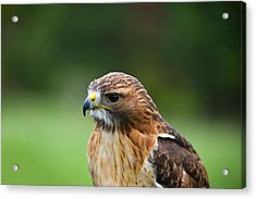 Close-up Of A Red-tailed Hawk Buteo Acrylic Print