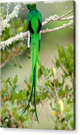 Close-up Of A Resplendent Quetzal Acrylic Print by Panoramic Images