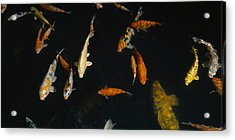 Close-up Of A School Of Fish In An Acrylic Print by Panoramic Images