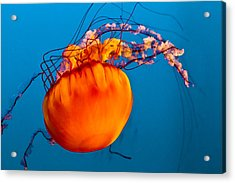 Close Up Of A Sea Nettle Jellyfis Acrylic Print by Eti Reid