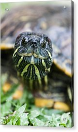 Close-up Of A Turtle Acrylic Print