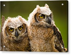 Close-up Of A Two Great Horned Owlets Acrylic Print