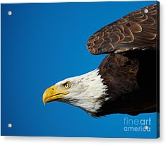 Close-up Of An American Bald Eagle In Flight Acrylic Print