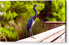 Close-up Of An Blue Egret, Boynton Acrylic Print