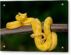 Close-up Of An Eyelash Viper Acrylic Print by Panoramic Images