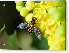Close-up Of Bee Pollinating On Yellow Flower Acrylic Print by Pete Vandal / EyeEm