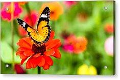 Close-up Of Butterfly On Orange Flower Acrylic Print by Mongkol Nitirojsakul / Eyeem