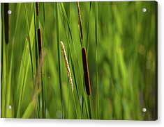 Close-up Of Cattails Plant In A Field Acrylic Print