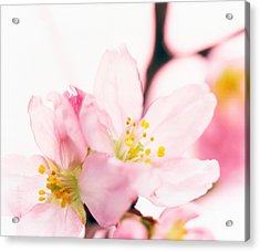 Close Up Of Cherry Blossom Acrylic Print by Panoramic Images