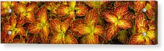 Close-up Of Coleus Leaves Acrylic Print
